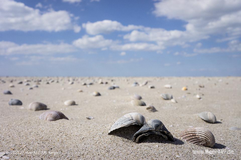 Muscheln auf einer Sandbank im Watt vor St. Peter-Ording // Foto: R. Kerpa