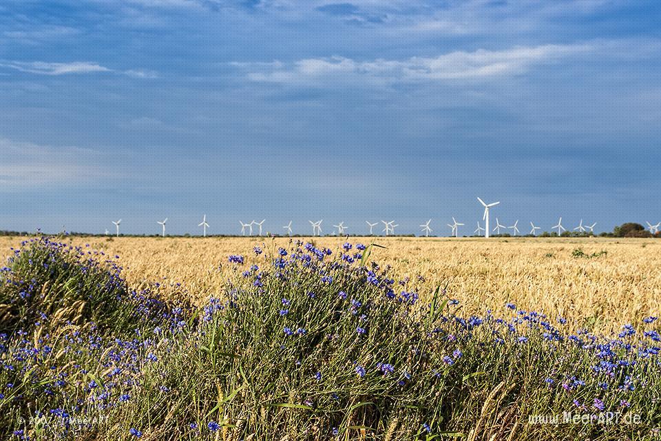Kornblumen und Windräder auf Fehmarn // Foto: MeerART