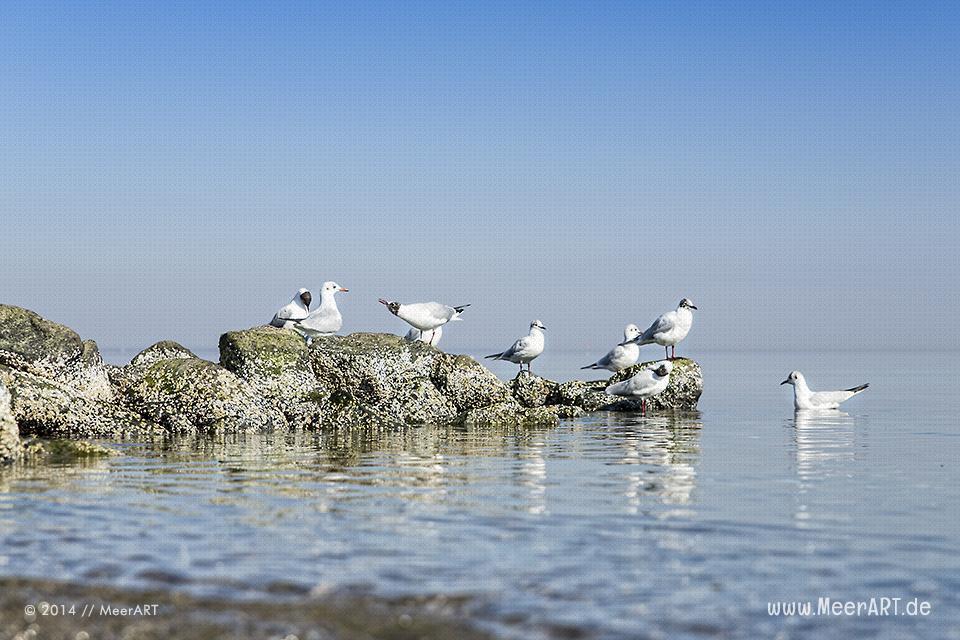 Möwen sitzen auf im Wasser liegende Steine an einem Strandabschnitt an der Ostsee // Foto: MeerART