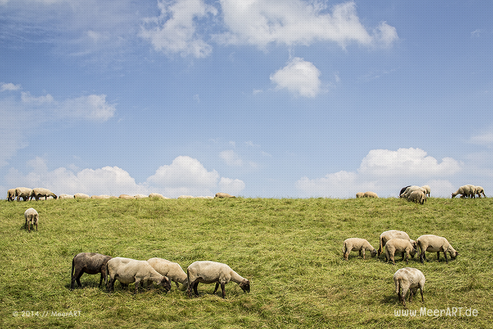 Schafe auf einem Elbdeich im Alten Land in Niedersachsen // Foto: MeerART