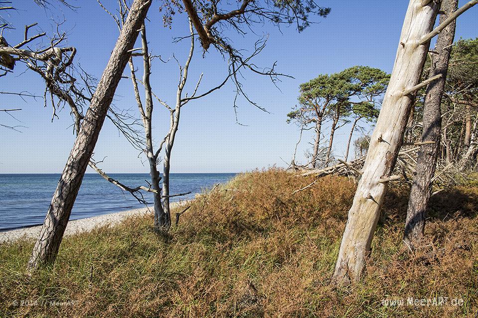 Strandabschnitt mit Kiefern am idyllischen Weststrand bei Ahrenshoop // Foto: MeerART
