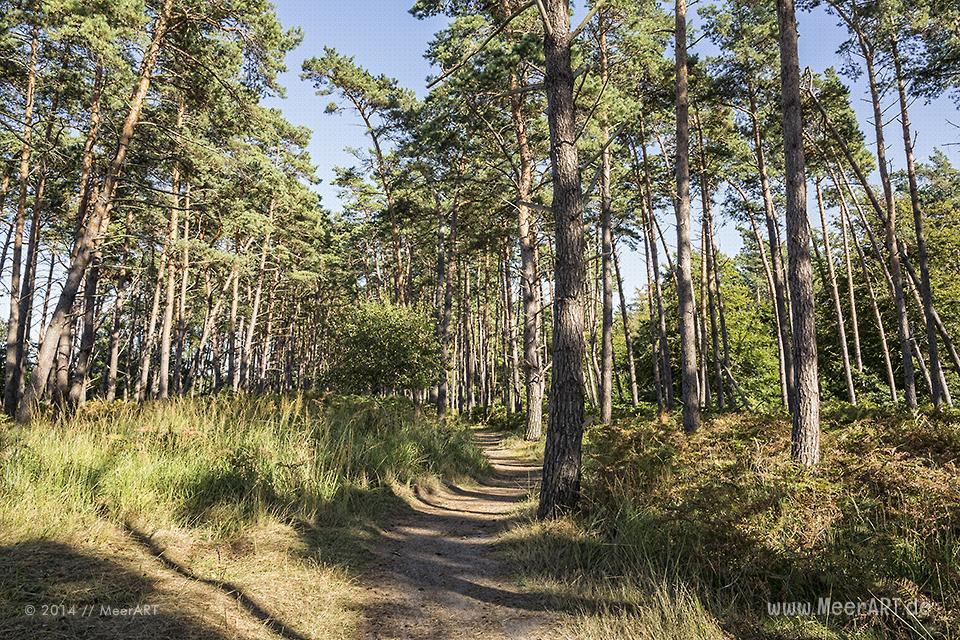 Kiefernwald am idyllischen Weststrand bei Ahrenshoop // Foto: MeerART
