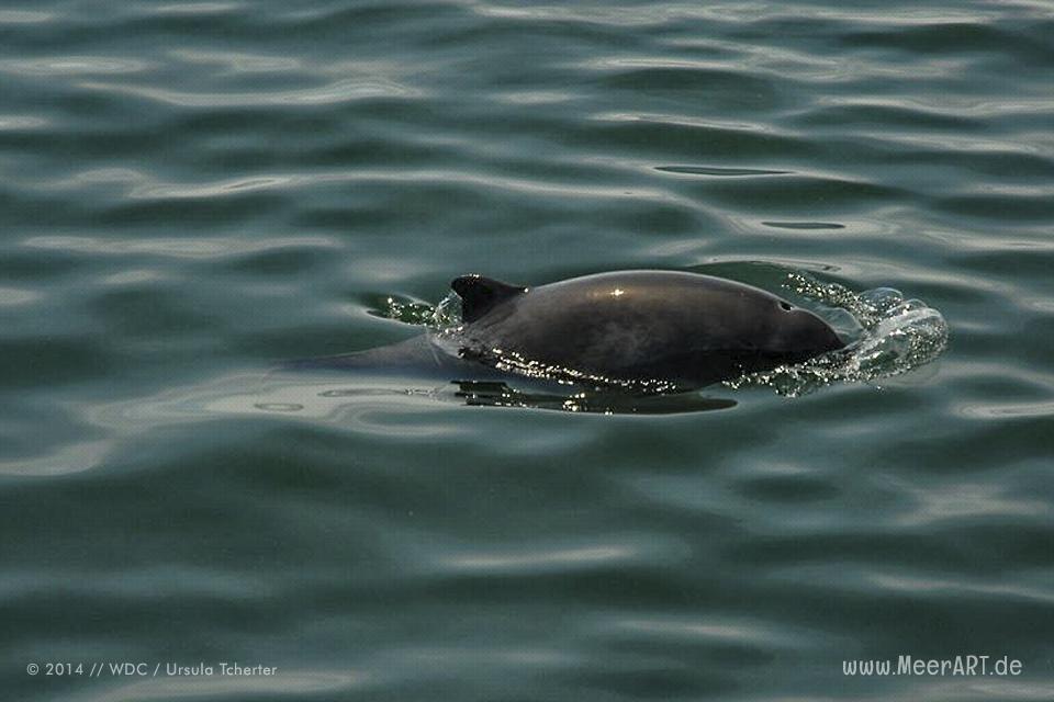 WDC / Schweinswale // Foto: Ursula Tcherter