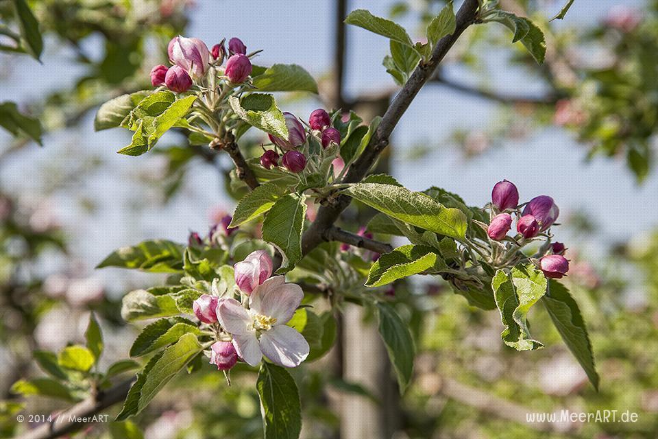 Die Apfelblüte im Alten Land bei Stade // Foto: MeerART