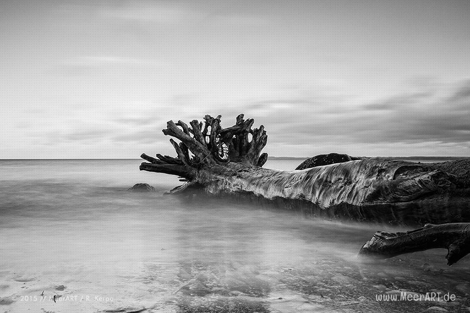 Ein entwurzelter Baum in der Ostsee am Strand beim Brodtener Steilufer // Foto: R. Kerpa