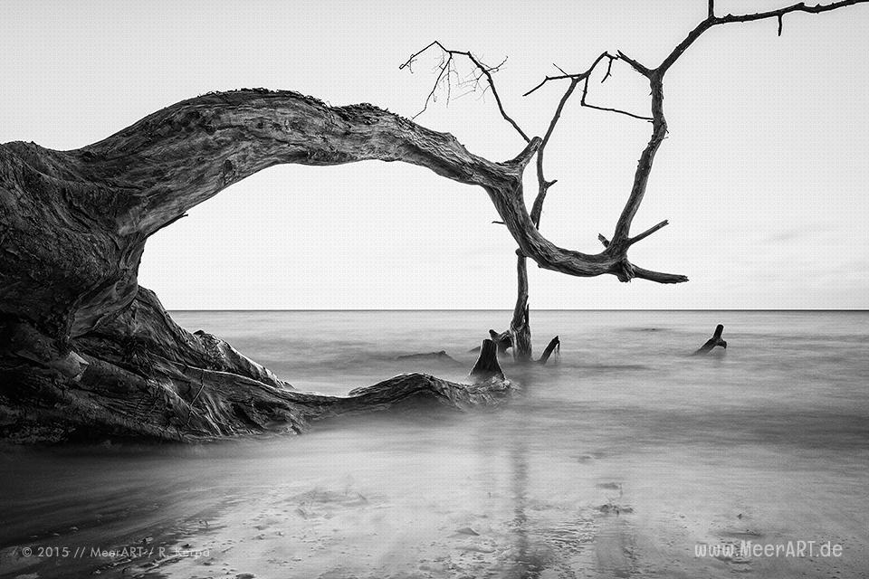 Gefallener Baum in der Ostsee am Steilufer von Brodten // Foto: R. Kerpa