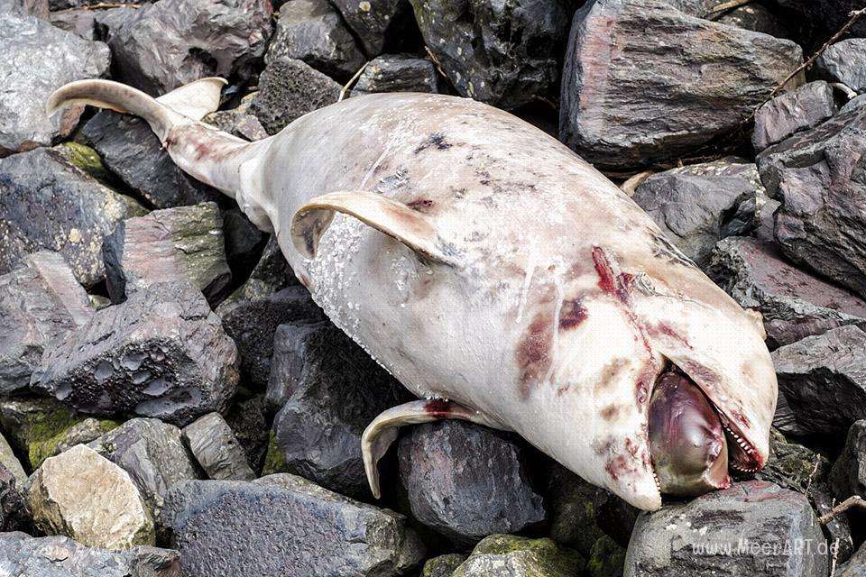 Ein angespülter Schweinswal im Hamburger Hafen // Foto: MeerART