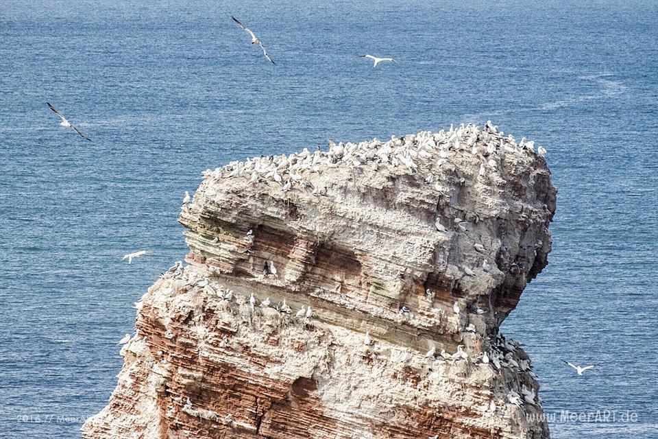 Basstölpel nisten auf den Felsen der Hochseeinsel Helgoland // Foto: MeerART