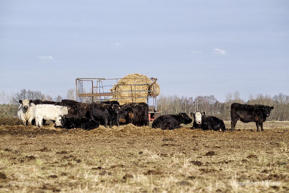 Galloway-Rinder auf der Elbinsel bei Geesthacht // Foto: MeerART