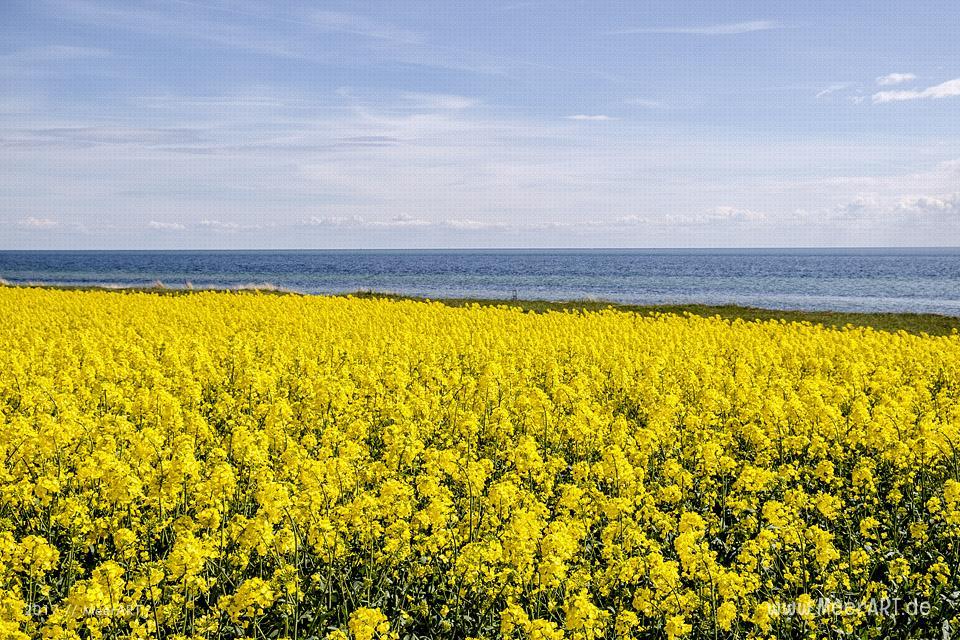 Rapsblüte auf der Ostseeinsel Fehmarn // Foto: MeerART