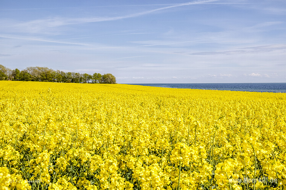 Rapsblüte auf der OstRapsblüte auf der Ostseeinsel Fehmarn // Foto: MeerARTseeinsel Fehmarn // Foto: MeerART