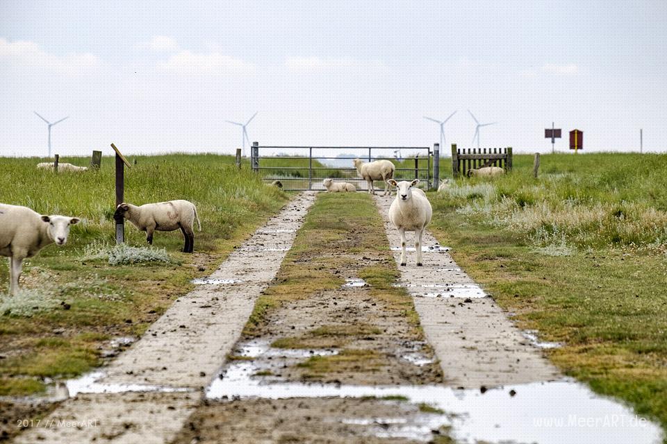 Ausflug zur Hamburger Hallig an der Westküste in Nordfriesland // Foto: MeerART
