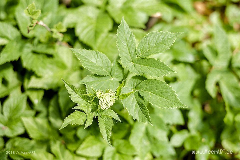 Vom gehassten Unkraut aus dem Garten zum leckeren Rezept-Tipp // Foto: MeerART