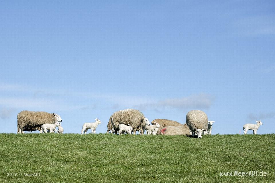 Die ersten Lämmer erkunden ihr Revier in Nordfriesland an der Westküste // Foto: MeerART