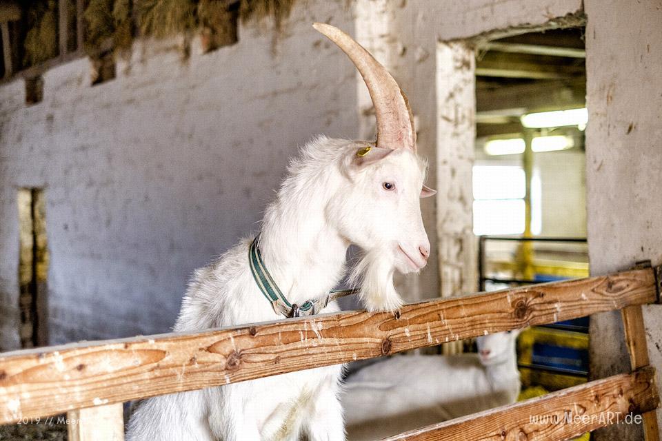 Jahnkes Ziegennkäse: Leckere Ziegenmilchspezialitäten direkt vom Bauernhof aus Angeln // Foto: MeerART / Ralph Kerpa